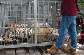 Thai Tiger Temple takedown