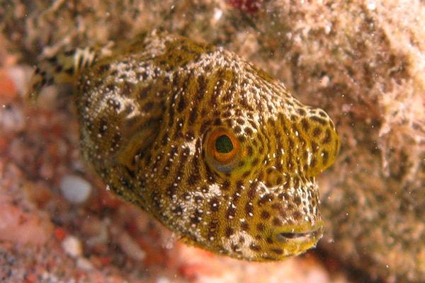 FlipFlopGlobetrotters.com - Top 5 dive sites Dahab - Juvenile star puffer