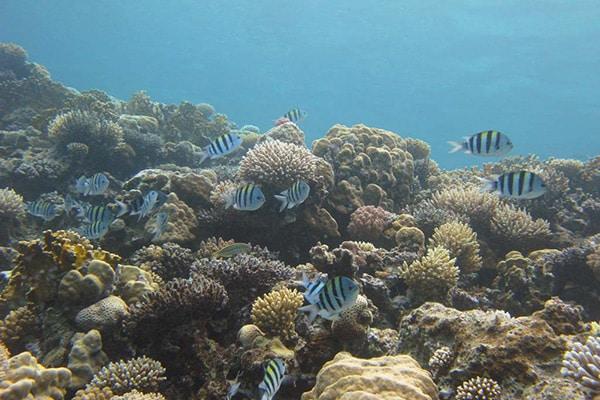 FlipFlopGlobetrotters.com - Top 5 dive sites Dahab - Sergeant Major fish