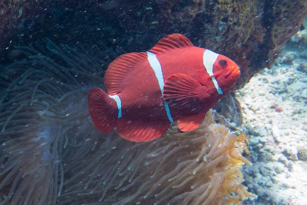 Nemo's big angry brother