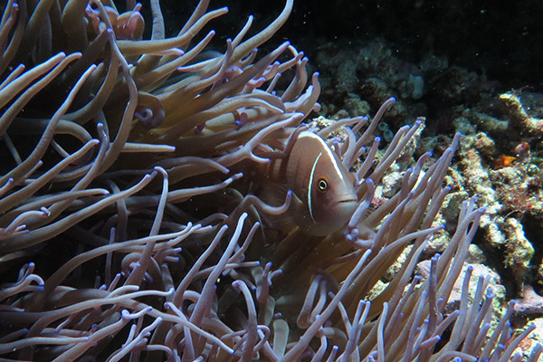 Lot's of different types of anemone fish