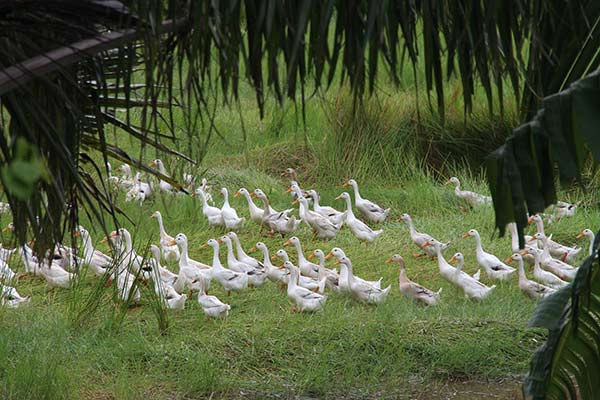FlipFlopGlobetrotters.com - Cat Ba Island - We came across this huge gaggle of geese