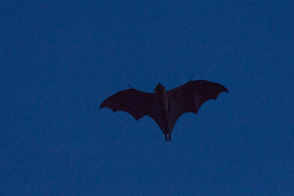 At dusk huge bats started to come out of their daytime sleeping places to start hunting for food. They're the biggest bats we've ever seen!