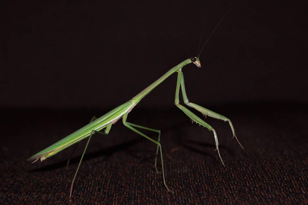 Wildlife! ;-) Big praying mantis we found on the terrace of our hotel in Anuradhapura