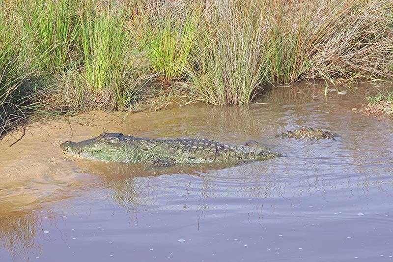 FlipFlopGlobetrotters.com - Sri Lanka - Wilpattu National Park -  Crocodile
