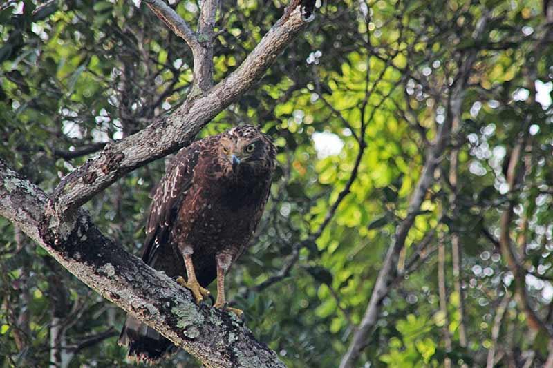 FlipFlopGlobetrotters.com - Sri Lanka - Wilpattu National Park -  Eagle
