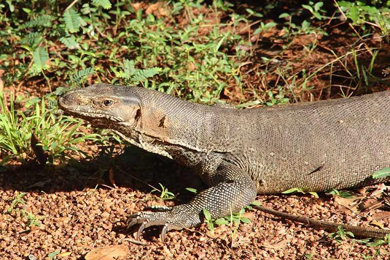 FlipFlopGlobetrotters.com - Sri Lanka - Wilpattu National Park - Monitor Lizard