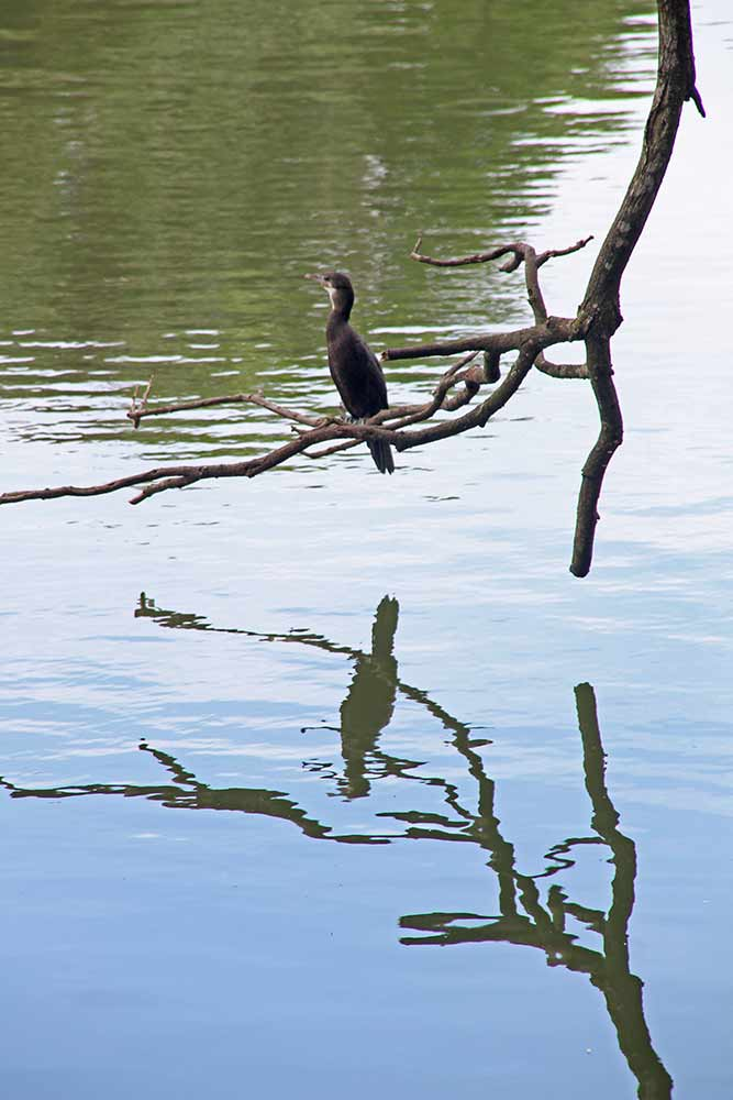 Another young cormorant