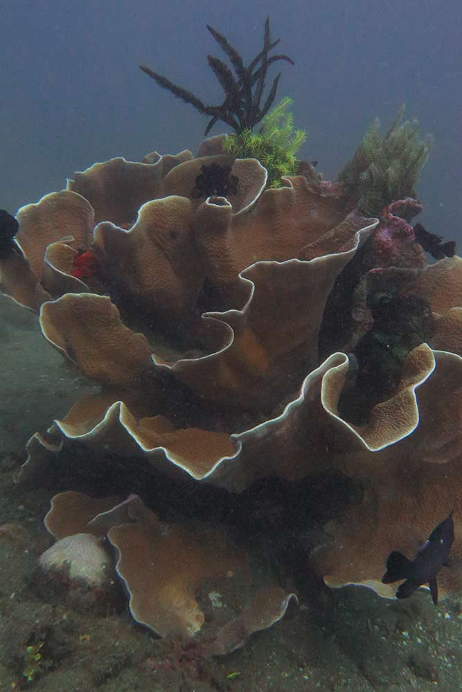 Diving in Dauin - Beautiful big corals and colourful feather stars