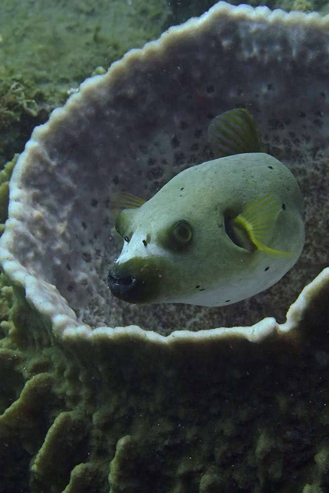 Diving in Dauin - Black spotted puffer fish, not a very special sight, but he was posing so nicely