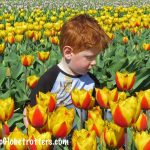 Tulip fields in Holland, when and where?