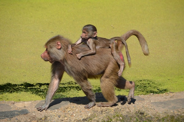 FlipFlopGlobetrotters.com - Amsterdam with kids - Amsterdam Artis Zoo baboon with baby