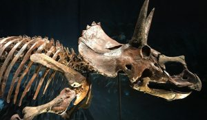 FlipFlopGlobetrotters - Triceratops at Naturalis Leiden